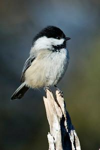 Chickadee - Black-capped - Dunning Lake, MN - 08