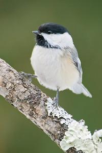 Chickadee - Black-capped - Dunning Lake, MN - 02