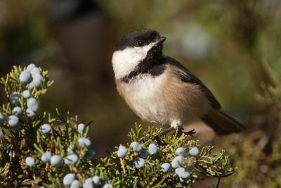 Chickadee - Black-capped - Lake Vadnais - Vadnais Heights, MN - 01