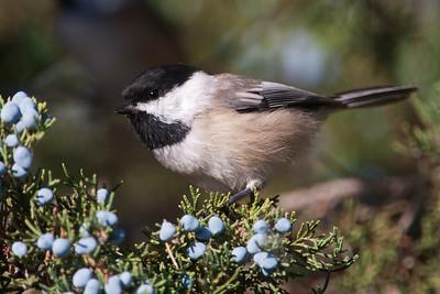 Chickadee - Black-capped - Lake Vadnais - Vadnais Heights, MN - 05