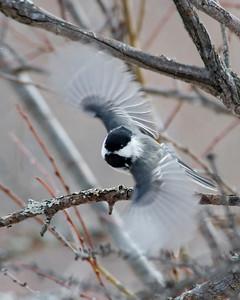 Chickadee - Black-capped - Sax Zim bog - MN - 02