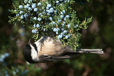 Chickadee - Black-capped - Lake Vadnais - Vadnais Heights, MN - 04