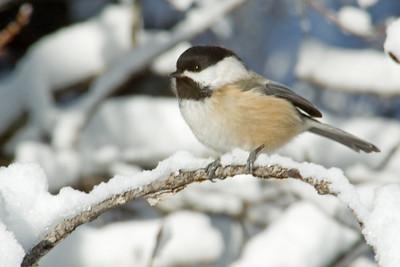 Chickadee - Black-capped - Hibbing, MN