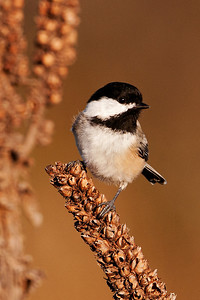 Chickadee - Black-capped - Bay Shore Blufflands Preserve - Door County, WI - 01