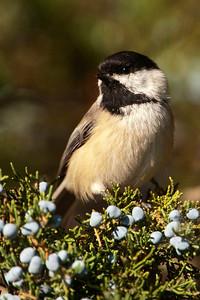 Chickadee - Black-capped - Lake Vadnais - Vadnais Heights, MN - 02