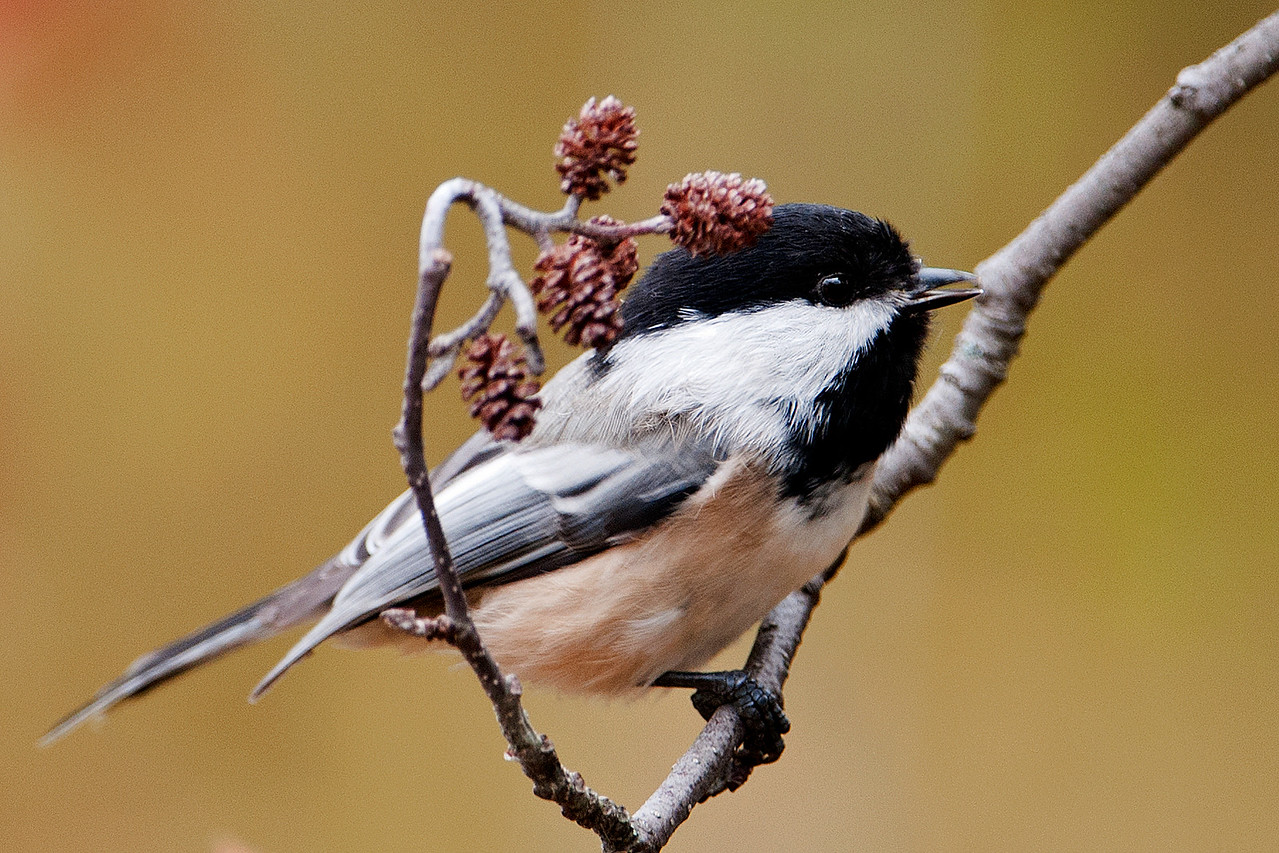 Chickadee - Black-capped - Sawtooth Harbor Rd - Cook County, MN - 02