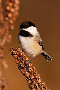 Chickadee - Black-capped - Bay Shore Blufflands Preserve - Door County, WI - 02
