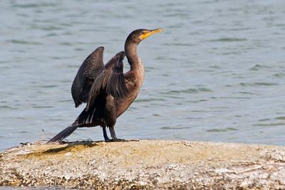 Cormorant - Double-crested - St. Joe's Peninsular State Park - FL