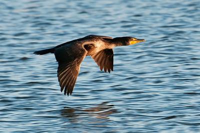 Cormorant - Double-crested - Apalachicola, FL - 01