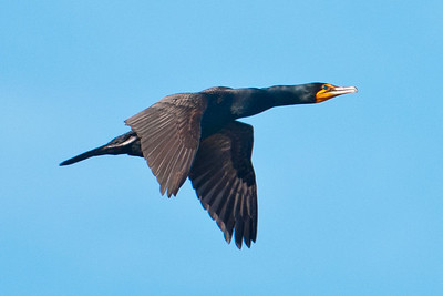 Cormorant - Double-crested - Lake Toho - Kissimmee, FL