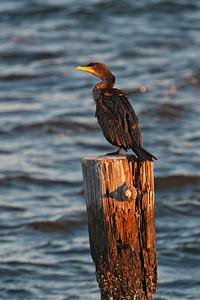 Cormorant - Double-crested - Apalachicola, FL - 02
