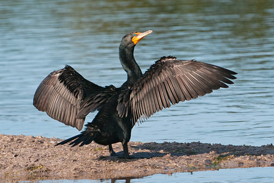 Cormorant - Double-crested - Ding Darling NWR, FL - 02