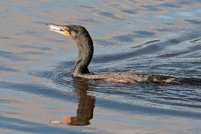 Cormorant - Double-crested - with food - Ding Darling NWR - Sanibel Island, FL