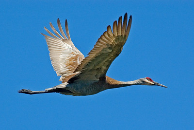 Crane - Sandhill - Anoka County, MN