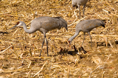 Cranes - Sandhill - greater and lesser - Bosque Del Apache NWR - NM