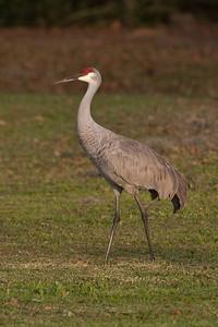 Crane - Sandhill - Lake Toho - Kissimmee, FL - 01