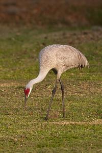 Crane - Sandhill - Lake Toho - Kissimmee, FL - 02