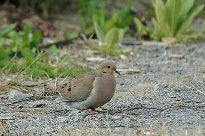 Dove - Mourning - Alexandria Bay, NY