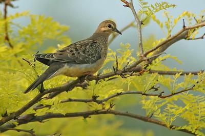 Dove - Mourning - juvenile - Alexandria Bay, NY