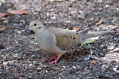 Dove - Mourning - Jekyll Island, GA