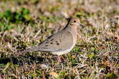 Dove - Mourning - LaFayette Park - Apalachicola, FL