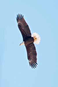 Eagle - Bald - adult - Salinas Park, FL