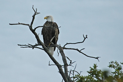 Eagle - Bald - adult - Lake Winnibigoshish, MN