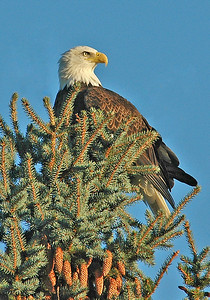 Eagle - Bald - adult - Dunning Lake, MN - 03