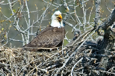 Eagle - Bald - adult and chick at nest - Red Wing, MN
