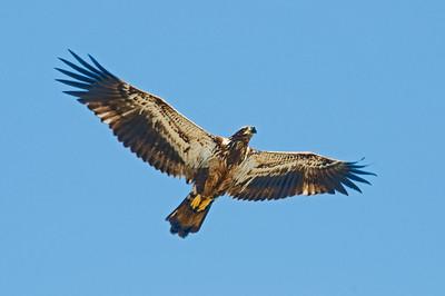 Eagle - Bald - juvenile - St. George Island State Park - FL