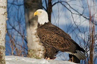Eagle - Bald - adult - Dunning Lake, MN - 02