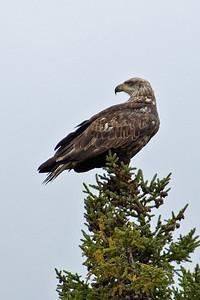 Eagle - Bald - juvenile - Finland, MN