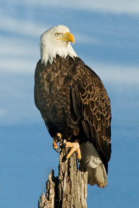 Eagle - Bald - adult - Dunning Lake, MN - 01