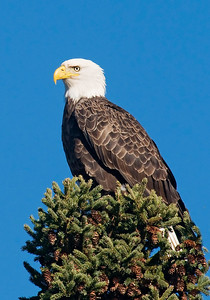Eagle - Bald - adult - Lake County Road 15 - MN