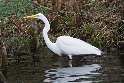 Egret - Great - Wakulla Springs State Park, FL