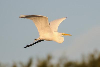 Egret - Great - LaFayette Park - Apalachicola, FL