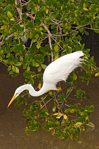 Egret - Great - Ding Darling NWR - Sanibel Island, FL - 01