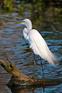 Egret - Great - breeding plumage - Lake Toho - Kissimmee, FL - 02