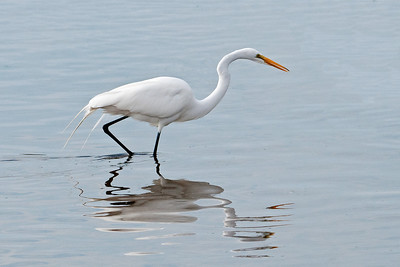 Egret - Great - Ding Darling NWR - Sanibel Island, FL - 02