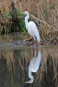 Egret - Great - breeding plumage - Old Cedar Ave Bridge - Bloomington, MN