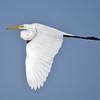 Egret - Great - Lake Toho - Kissimmee, FL