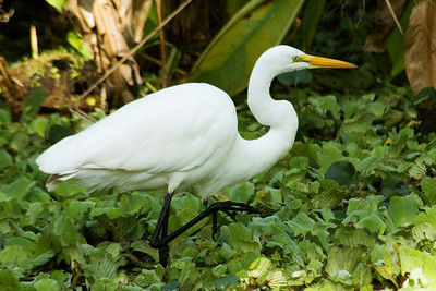 Egret - Great - Corkscrew Swamp, FL - 01