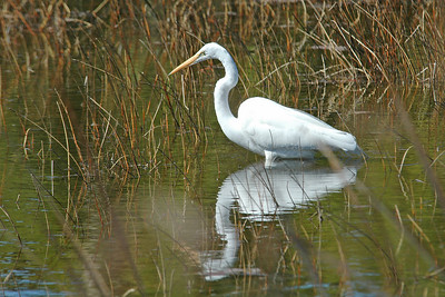 Egret - Great - St. Joe's State Park - FL