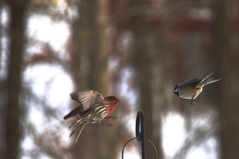Housefinch vs Chickadee<br /> No collosion occured!