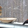 Female (L) and Male (R) Pileated Woodpeckers