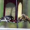 Male (L) and Female (R) Rose-Breasted Grosbeak