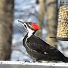 Female Pileated Woodpecker
