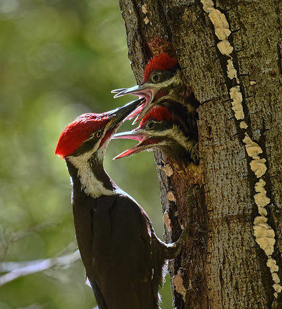 Pileated Woodpeckers ~ Male with nestlings