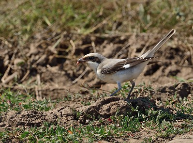 Lesser Grey Shrike/Lanius minor, Млада черночела сврачка, край Тюленово