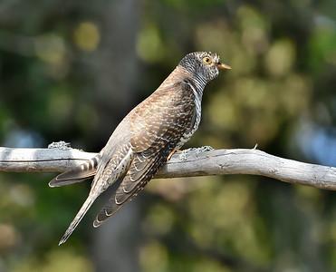 Common Cuckoo/Cuculus canorus, Млада кукувица, Щасливеца, Витоша
